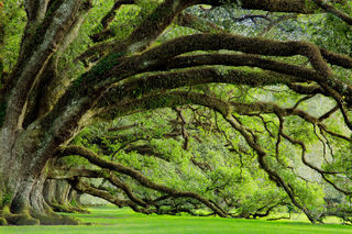 Oaks of Antebellum