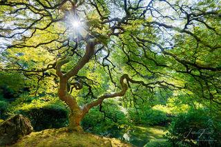 spring, spirit, japanese, maple, tree, sun, star, sunburst, branches, leaves, inner peace, peter lik, tree of life