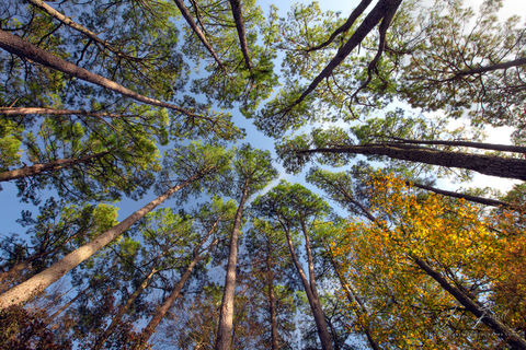 crown shyness, canopy, trees, phenomenon, species