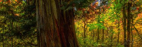 ancient one, rainier national park, washington, tree