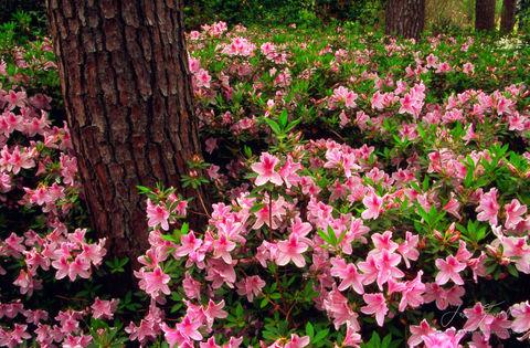 azaleas and pines, trees, texas, nacogdoches county,