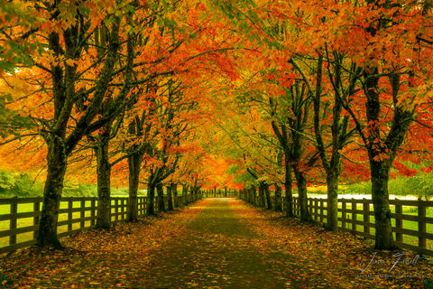 fall, autumn, lane, driveway, path, trees, maple, road, country, take me home