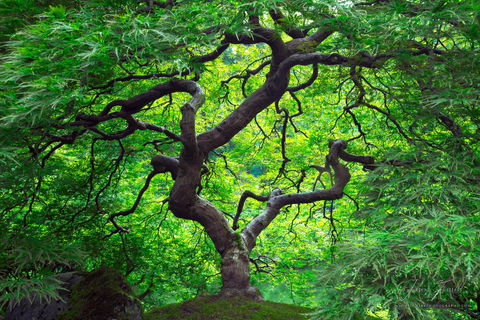 green, japanese maple, branches, tree, crown, foliage, leaves, branches, plant, trunk, peter lik, tree of life, inner peace