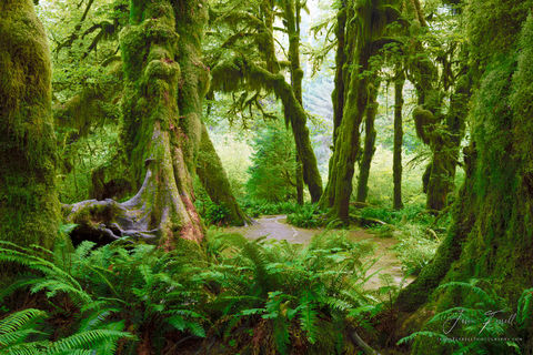 forest, elders, olympic national park, moss, old growth, trail, trees, conifers, hoh rainforest, ferns