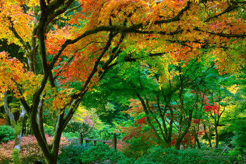 kaleidoscope, portland japanese garden, trees, fall, autumn, foilage