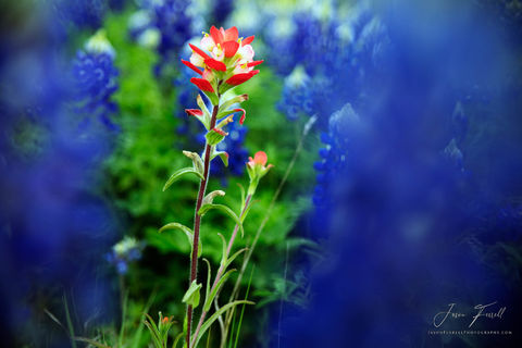 indian paintbrush, bluebonnets, texas hill country