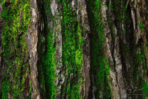 loblolly, pine tree, bark, texas, moss, forest, cherokee county, texas