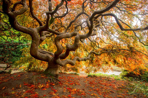 japanese, maple, tree, twist, turn, fall, foliage, kubota garden