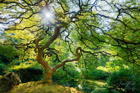 spring, spirit, japanese, maple, tree, sun, star, sunburst, branches, leaves, inner peace, peter lik, tree of life