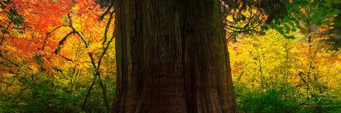 patriarch, rainier national park, washington, tree