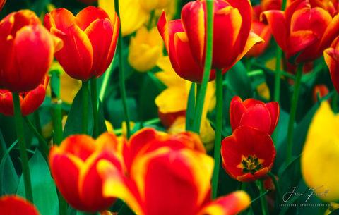 tulips, tyler, texas