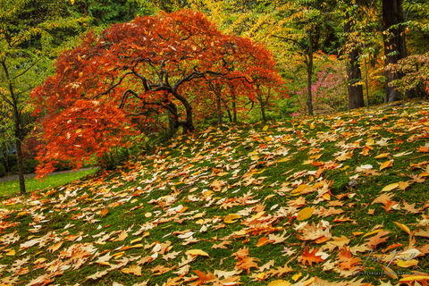 portland japanese garden, tree, fall, leaves, color, autumn, leaf, wonderfall