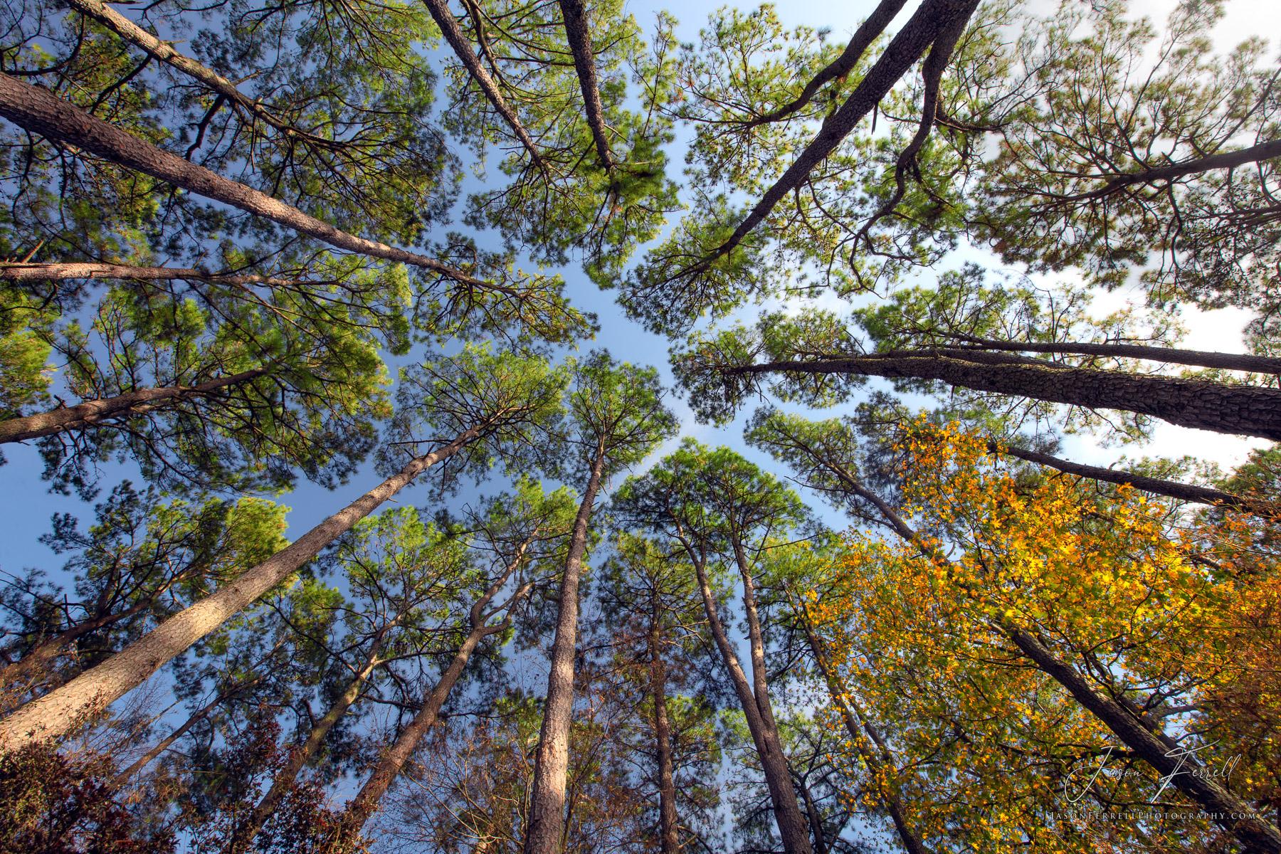 crown shyness, canopy, trees, phenomenon, species, photo