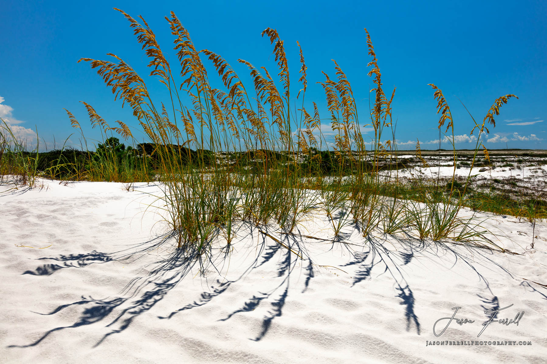 Uniola paniculata, also known as sea oats, seaside oats, araña, and arroz de costa, is a tall subtropical grass that is an important...