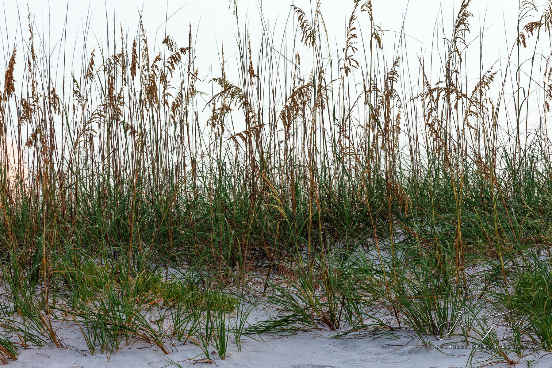 Sea Oats is a tall, erect perennial grass that can grow to 1 to 2 m in height. Its long, thin leaves reach lengths of 20 to 40...