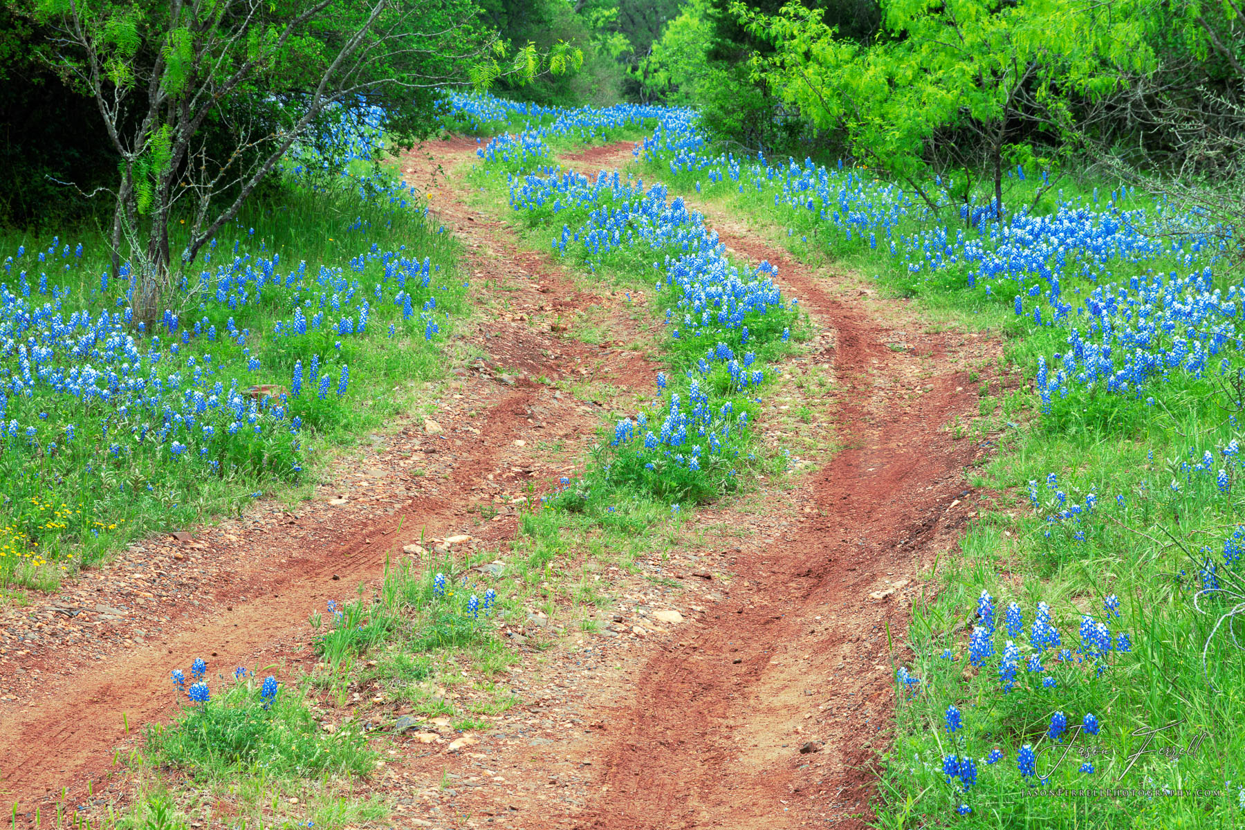 bluebonnets, flowers, road, dirt, lane, texas hill country, photo
