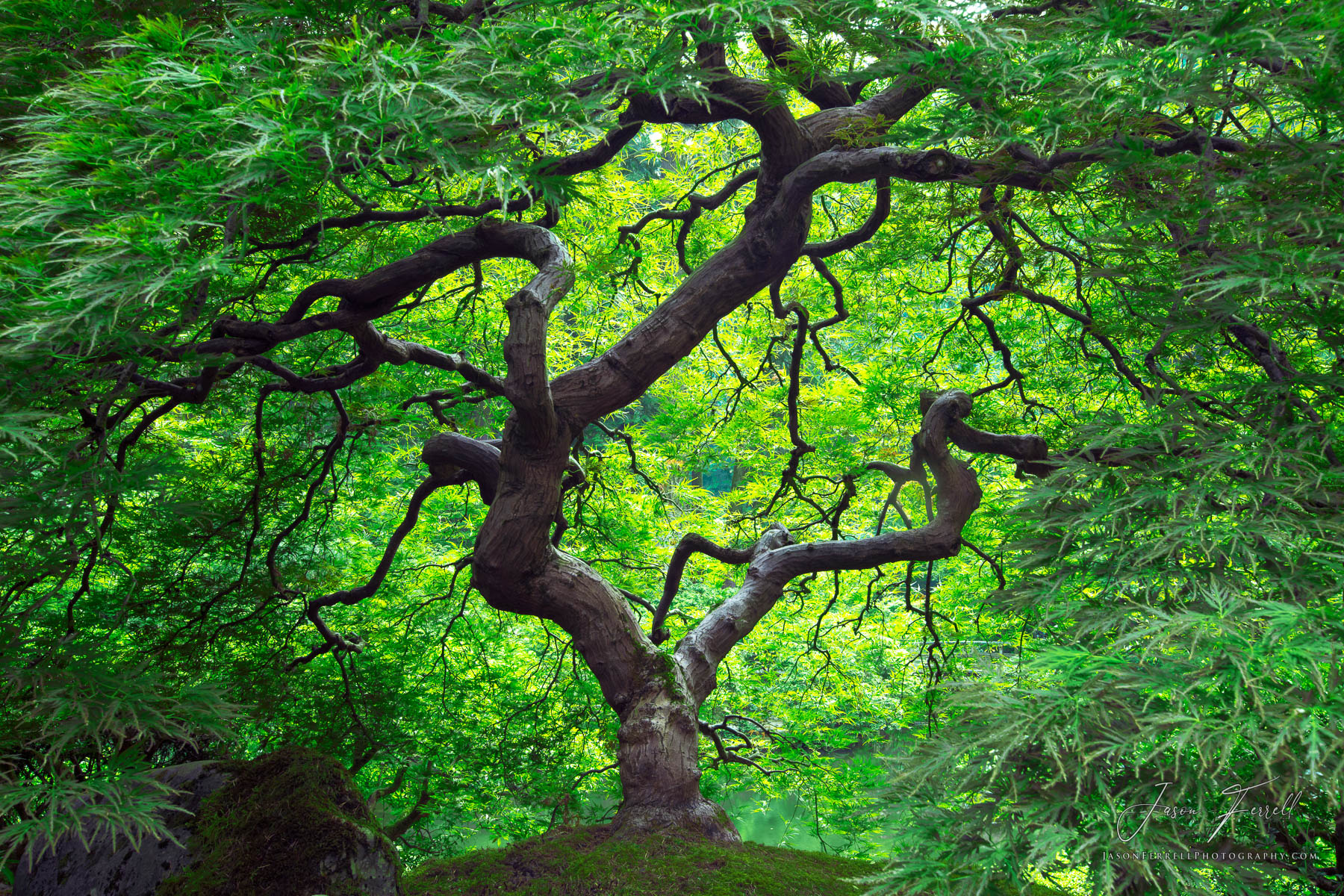 green, japanese maple, branches, tree, crown, foliage, leaves, branches, plant, trunk, peter lik, tree of life, inner peace, photo