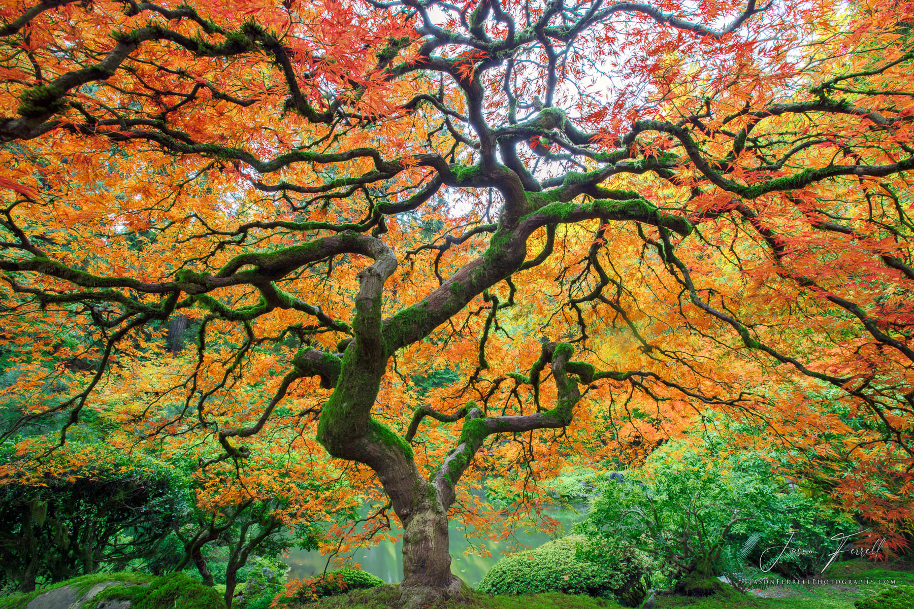 japanese, maple, tree, portland, oregon, dream catcher, garden, peter like tree, tree of life, photo