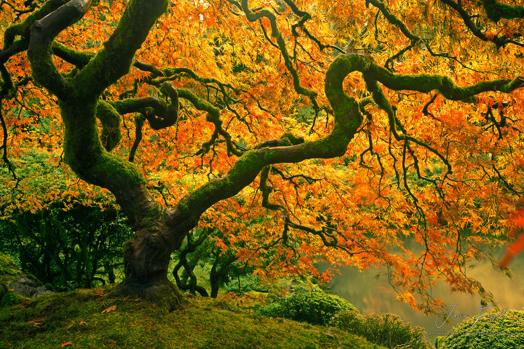 enchanted, fall, foliage, japanese, maple, tree, autumn, leaves, branches, photo