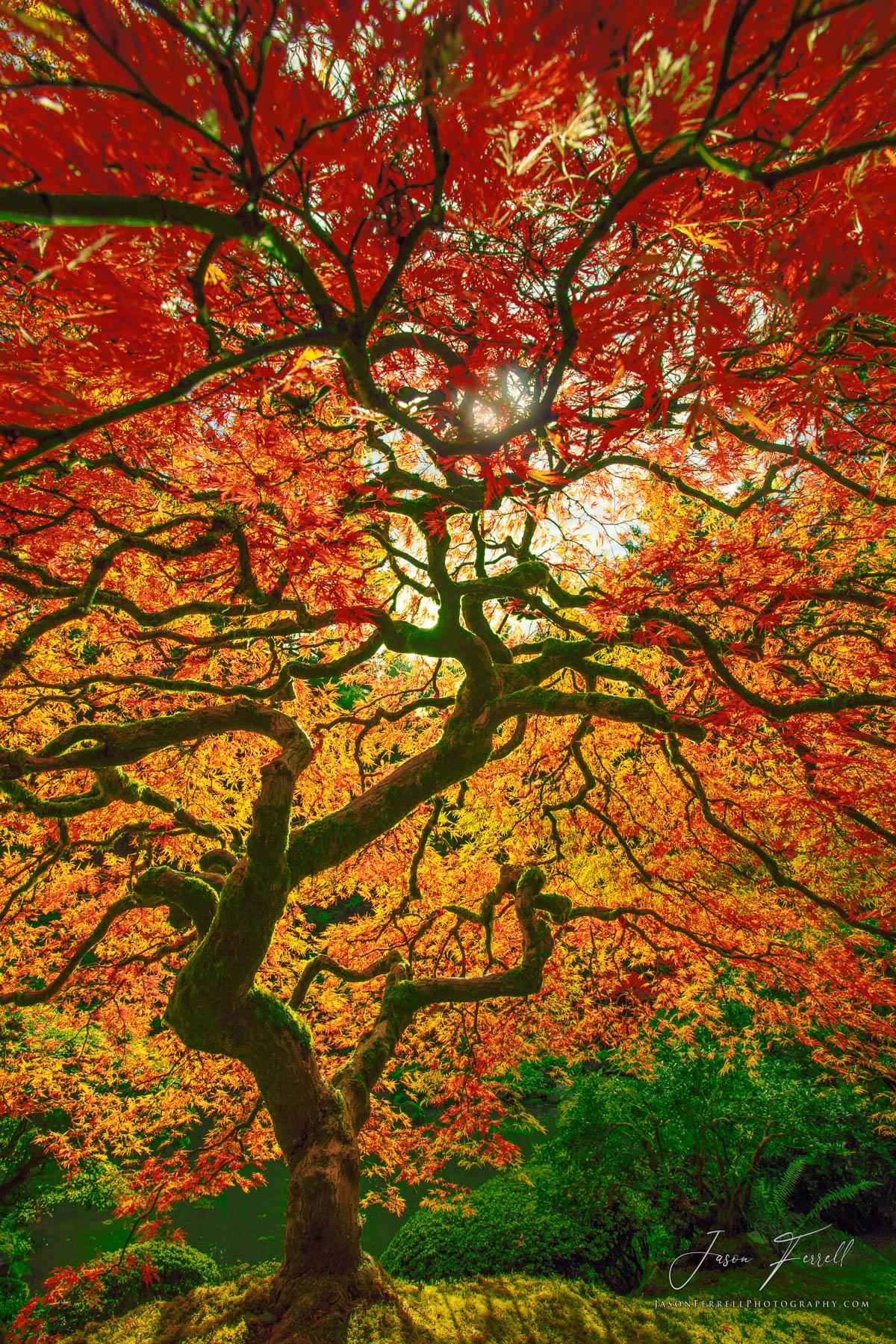 lightning strike, tree, portland japanese garden, oregon, photo