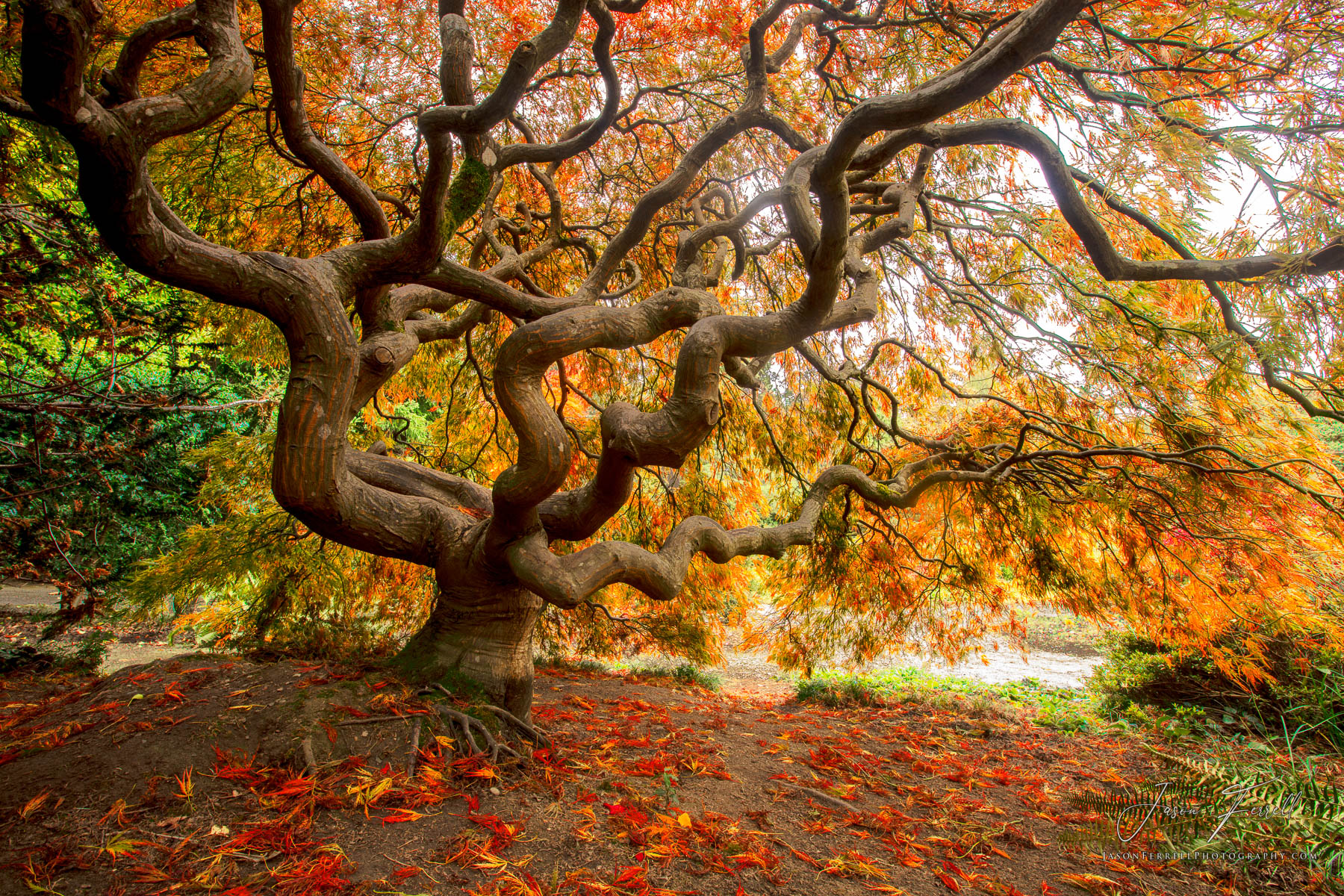 japanese, maple, tree, twist, turn, fall, foliage, kubota garden, photo