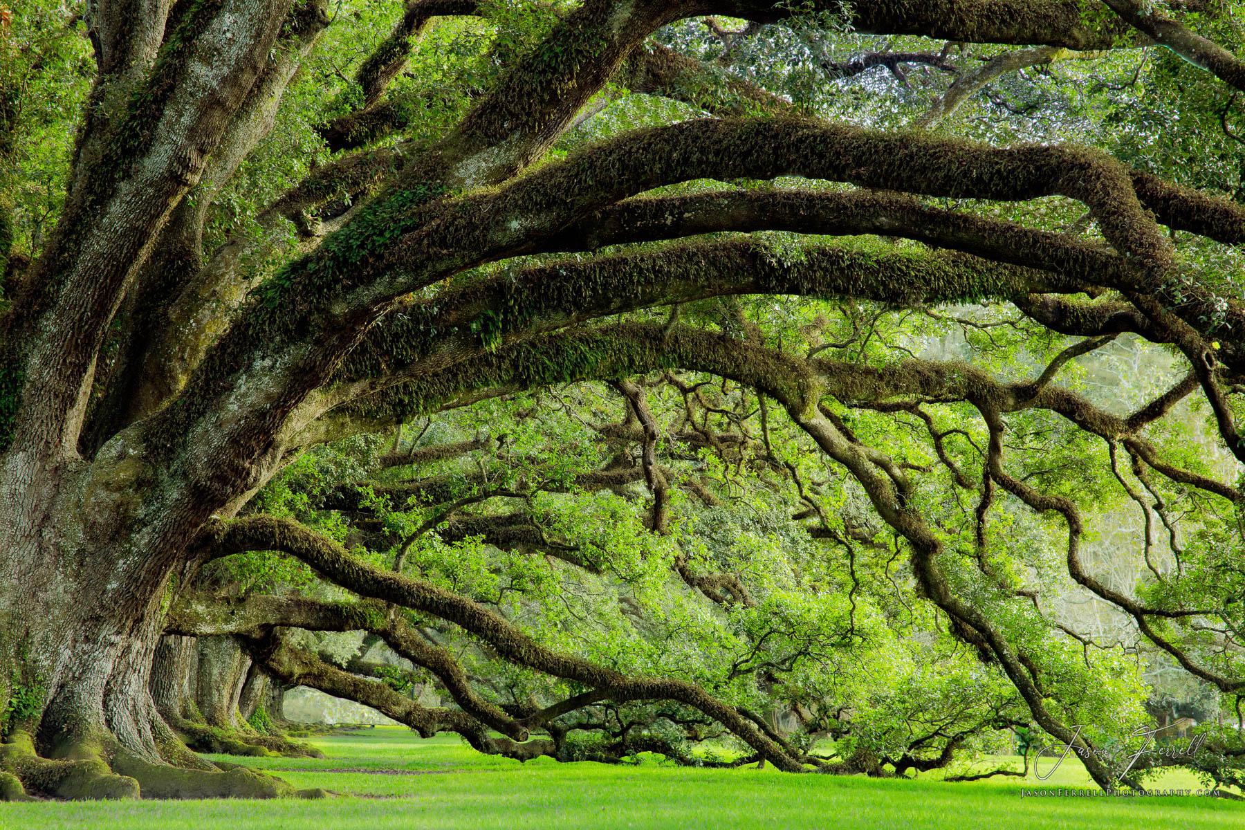 oak, tree, alley, plantation, vacherie, louisiana, old, big, antebellum, civil war, oaks of antebellum, spanish moss, photo