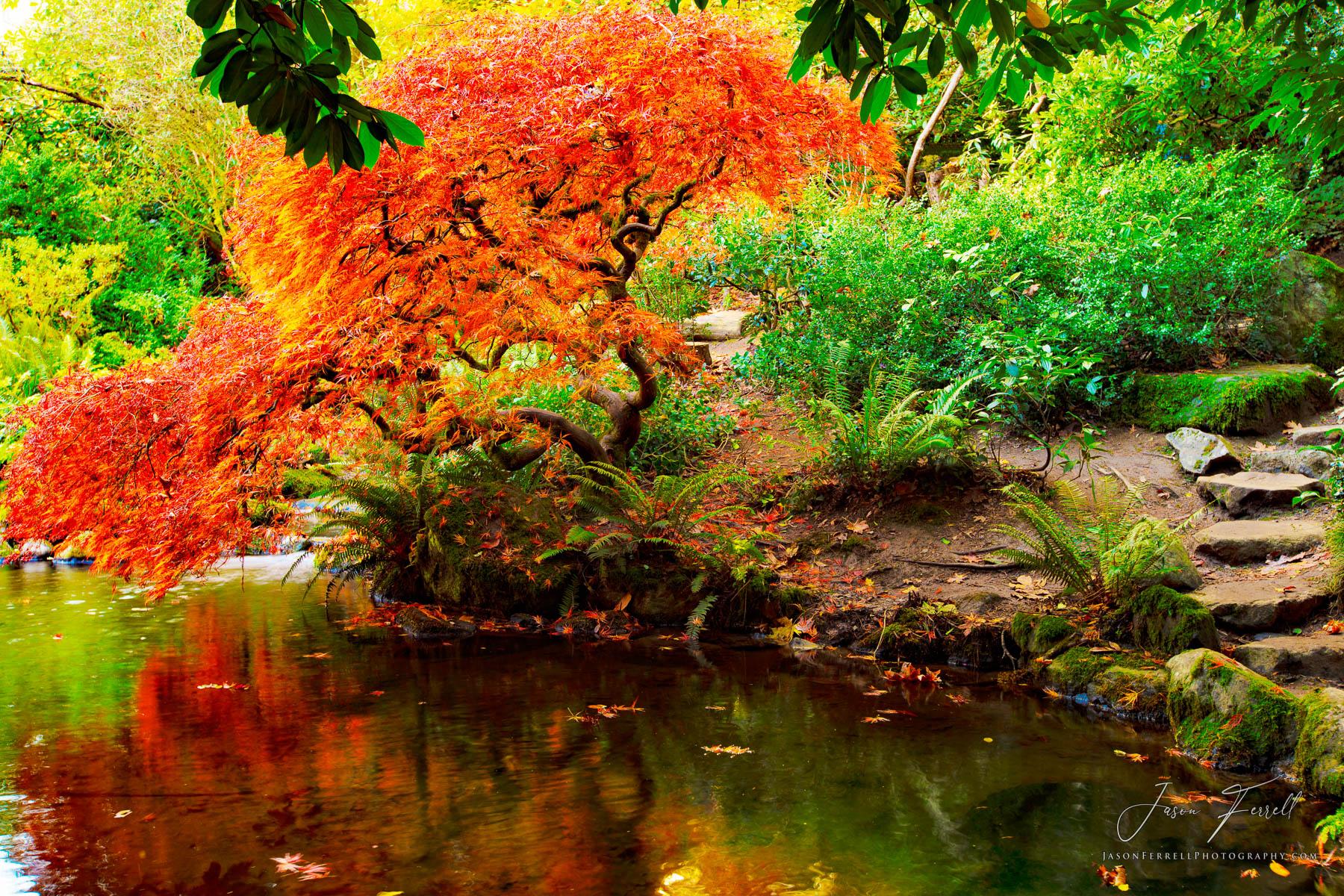 on golden pond, kubota garden, seattle, washington, japanese maple tree, reflection, water, pond, branches, photo