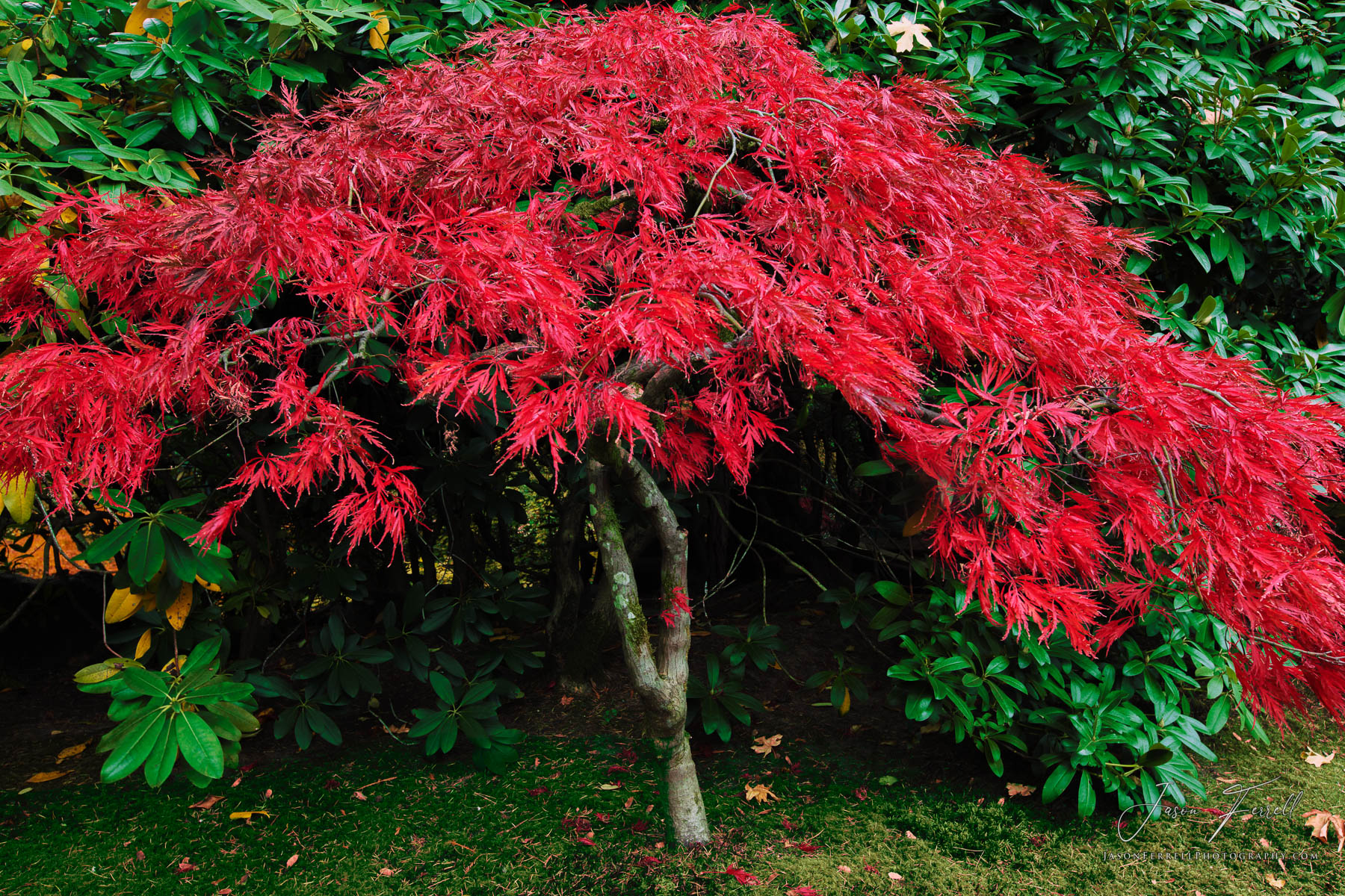 red, ruby, tree, japanese, maple, green, photo