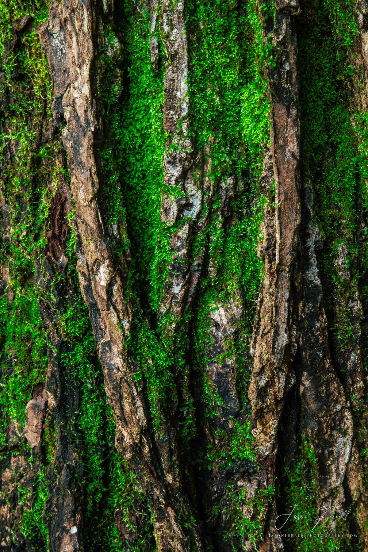 taeda, loblolly, pine tree, bark, texas, moss, forest, cherokee county, texas, photo